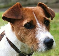 Skye Terrier Dog Breed